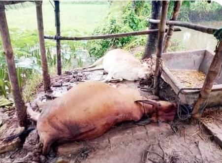 নোয়াখালীতে ২ঘন্টার বজ্রপাতে ৫টি গরুর মৃত্যু