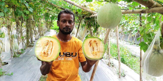 কুমিল্লায় মরুর দেশের ফল 'সাম্মাম' চাষে সাফল্য