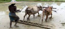 হারিয়ে যাচ্ছে গ্রাম-বাংলার ঐতিহ্য গরু – লাঙ্গল দিয়ে হাল চাষ
